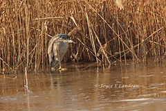 Black Crowned Night Heron_IMG_0304mc-20L (Joyce_E_Landean (Trying to get back at it)) Tags: ice reeds de hide puffed bombayhook nightheron 2013