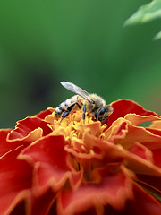 Honeybee on the French Marigold (Johnnie Shene Photography(Thanks, 2Million+ Views)) Tags: bee honeybee insect bug nature natural wild wildlife perching resting awe wonder hymenoptera hymenopteran vertical feeding flower flora floral distorted perspective accessibility depthoffield photography outdoor colourimage fragility freshness nopeople foregroundfocus adjustment fulllength interesting summer behaviour marigold lighteffect day single one korea animal plant tranquility tranquilscene canon eos600d rebelt3i kissx5 tamron 90mm f28 11 macro lens 꿀벌 벌 동물 접사 매크로