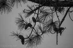 The Pine in Black and White (Gabriel FW Koch) Tags: bw tree pine pinecones pineneedles cones bokeh canon dos dof eos lseries telephoto