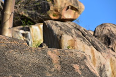 Mongoose, Ruaha National Park (1) (Prof. Mortel) Tags: tanzania ruahanationalpark mongoose