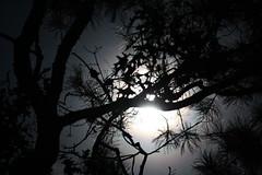 Whispering Pines (nicolehartman) Tags: moon moonlight full sturgeon night sky long exposure astrophotography trees nature no filter raw canon canoneos canonrebelxs