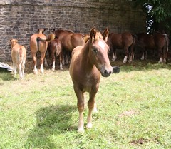 Cheval Breton (EricFromPlab) Tags: bretagne finistre saintvougay brittany breizh cheval poulain horse colt