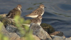 Sandpipers possible Semipalmated 2 (Annie Aguirre) Tags: indiana summer wildlife