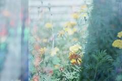 FH000004 (Cara J Salvaggio) Tags: olympusom1 superia200 fujifilm 35mm filmphotography 50mm multiexposure nature holographic technical colorfilm plantsonfilm film