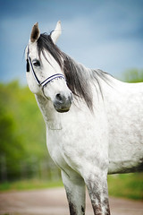 Arabian horse (KajsaDahl) Tags: equine equinephotographer equinephotography white whitehorse sweden swedish show green stallion turbo star international summer nikon light nikond700 lights portrait horse focus animal dahl face kajsadahl kajsa landscape beautiful nature mare