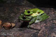 Litoria chloris (benrevell86) Tags: litoriachloris litoria frog southernorangeeyedtreefrog