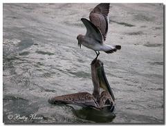 Brown Pelican (Betty Vlasiu) Tags: brown pelican pelecanus occidentalis bird nature wildlife florida