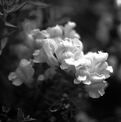 "Snapdragon #3 Ernostar (Piton Photography) Tags: medium format ""medium format"" 6x6 square mf hasselblad 500cm ""hasselblad 500cm"" macro makro black white ""black white"" bw monocrome blackandwhite blackwhite flowers flora garden bloom flower casa ""depth field"" depth field depthoffield bokeh film ilford panf 50 panf50 120 rodinal 55mm tube 55mmtube ernemann ernostar 20 10cm 100mm f20 19231926"