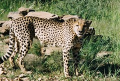 Cheetah in Namibia ! (Mara 1) Tags: africa namibia wildlife cheetah leopard face outdoors