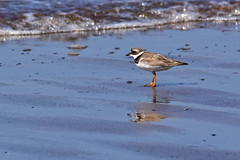 Ringed Plover 229/366 Challenge (After-the-Rain) Tags: solwaycoast solwaywaders ringedplover charadriushiaticula august2016 365challenge