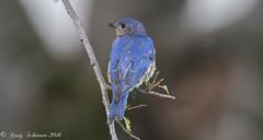 Blue Bird (Craig Schriever) Tags: bluebird willowwood