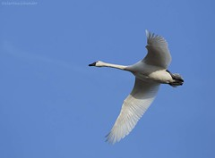 YTundra Swan AY (martinaschneider) Tags: swan tundraswan spring aylmer bird ontario flight flying birds bluesky