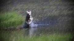 8-12 Arthur's swamp (marco sees things) Tags: montblanc valveny gundog swamp englishsetter arthur 12monthsfordogs setter splash