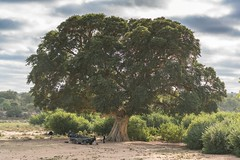 Tree of Life- Lion Sands game reserve (Dakinepics00) Tags: krugernationalpark sonya7rii southafrica a7rii africa mirrorless safari sony wildlife tree treeoflife lionsands