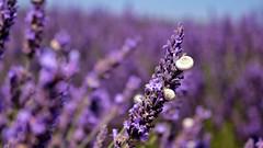Snails (Luc1659) Tags: snails lavanda chiocciole viola campo colore profumo lavender provenza macro