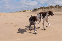 Walking in your shadow (psxdadz) Tags: formbybeach gsp englishpointer fuji xt1 wideanglelens