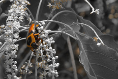 So Bright (--Welby--) Tags: beetle bug bush flower tint orange bright sharp burst