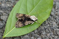 Alder Moth, St Bees, Cumbria, England (Terathopius) Tags: cumbria england uk gb greatbritain stbees unitedkingdom noctuidae acronictinae aldermoth acronictaalni acronictaleporina leppykknen