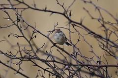 American Tree Sparrow (glenbodie) Tags: glen bodie glenbodie dncb dike 201350 american tree sparrow