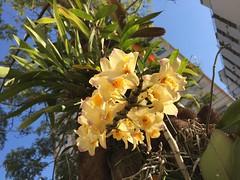 rvores das ruas paulistanas e suas orqudeas. (Elias Rovielo) Tags: flowers flores yellow amarelo inverno winter alamedafranca sopaulo orquideas orchids