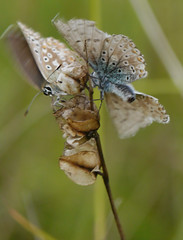 All of a flutter (jump for joy2010) Tags: chalkhillblue polyommatuscoridon poleeohmaytusskoridon insect august 2016 poldenhills somerset uk sexualbehaviour atit wildflowers grassland knautiaarvensis fieldscabious ladyspincushion blue bonnetscombe hillthe polden way mating butterfly lilac