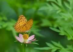 Leopard butterfly on wild cosmos (Robert-Ang) Tags: leopardbutterfly cosmos wildcosmos flower leaves flyinginsect chinesegarden singapore phalanta macro closeup wow