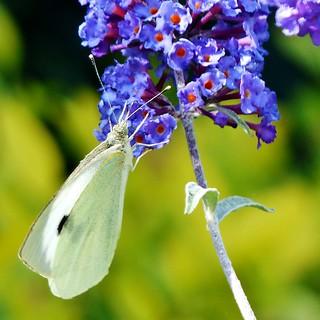 Koolwitje in mijn vlinderstruik Lede - In Explore op 13-09-2016 # 081