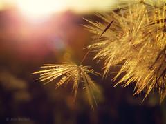 (Alin B.) Tags: alinbrotea soft seeds fly dandelion