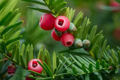 berries (255/366) (severalsnakes) Tags: ks2 m1004macro missouri pentax saraspaedy sedalia berries berry bush closeup evergreen fruit macro manual red shrubbery