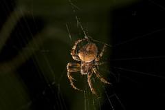 IMG_6603 (petrosli) Tags: spider macro closeup canon eos500d eos nature