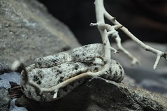 speckled rattlesnake (markusOulehla) Tags: bronxzoo nyc newyorkcity markusoulehla nikond90 citytrip thebigapple usa