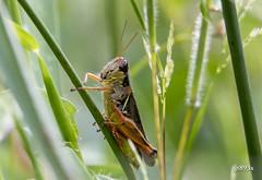 Grasshopper (jt893x) Tags: 150600mm d500 grasshopper insect jt893x nikon nikond500 sigma sigma150600mmf563dgoshsms specanimal