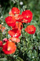 [ #268 :: 2016 ] (Salva Mira) Tags: roselles rosella amapola poppies barrancdelencantada pasvalenci salvamira salva salvadormira