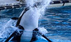 Powerful (orcamel30) Tags: orque orca marineland inouk biot antibes nikon d7100 55300 puissance power vitesse rapide fast magique majestueux