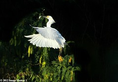 Snowy Egret Feeding On Shad - Bayou Courtableau, Louisiana (Image Hunter 1) Tags: light shadow white fish black tree green feet nature birds yellow flying wings louisiana branch feeding eating flight beak feathers seeds bayou swamp greenery marsh sunlit shad wingspan pods snowyegret wingspread canoneos7d birdslouisiana bayoucourtableau hennysanimals