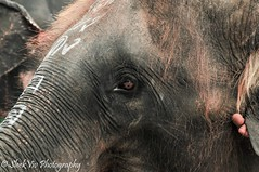 Eye of an elephant (SleekViv) Tags: elephant eye thailand zoo nikon d90