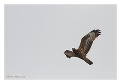 Pernis apivorus - European Honey-buzzard (Marc Nollet) Tags: bird spain birding tarifa cazalla pernisapivorus europeanhoneybuzzard wespendief nollet bondreapivore