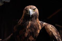 Aguila Real - Aquila chrysaetos (Salvador Moreira) Tags: las parque espaa bird de real nikon eagle granada prey aguila aquila ciencias d90 chrysaetos crea