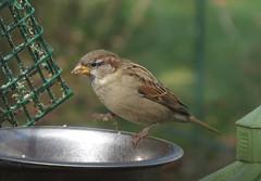 Sparrow taken with a handheld Canon SX50 HS IMG_0983 (Ted_Roger_Karson) Tags: birds canon backyard birdfeeder suet canonpowershot handheldcamera canonpowershotsx50hs canonsx50hs