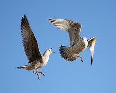 Fighting Gulls (Alan MacKenzie) Tags: seagulls nature birds fight brighton wildlife gulls flight fighting
