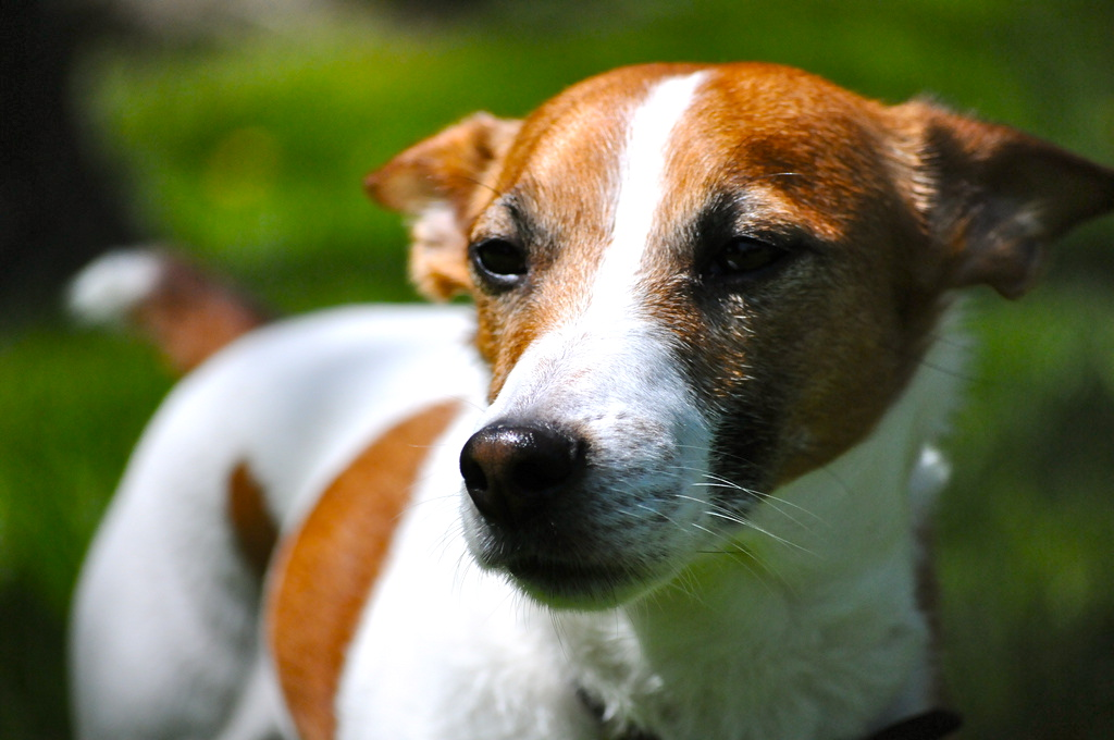 Must see White Chubby Adorable Dog - 8085645490_3e2025549b_b  Photograph_287457  .jpg