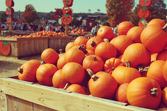 pumpkins (coco aice.) Tags: autumn orange fall halloween festival pumpkin farm