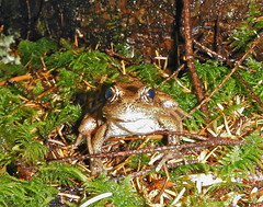 Northern Red-legged Frog (Bird on the Moon) Tags: canada coast bc frog northern sunshinecoast redlegged