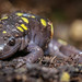 "Spotted Salamander (Ambystoma maculatum) • <a style=""font-size:0.8em;"" href=""http://www.flickr.com/photos/39798370@N00/8095101286/"" target=""_blank"">View on Flickr</a>"