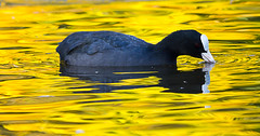 Autumn Coot (Alchimi) Tags: wild bird wwt martinmere