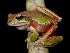 Blue Mountains Tree Frog - Litoria citropa (Evan Pickett) Tags: orange male green animal eyes bokeh australia amphibian frog toad nsw calling treefrog animalia froglet anura amphibia canonefs60mmf28usmmacro hylidae centralcost anuran speedlite580exii canoneos7d bluemountainstreefrog litoriacitropa evanpickett