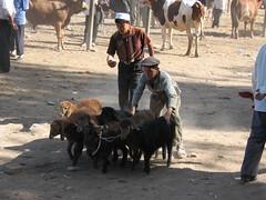 Kashgar animal market in Xinjiang, China (mbphillips) Tags: xinjiang 新疆 中国 west 中國 شىنجاڭ kashgar 喀什 قەشقەر fareast asia アジア 아시아 亚洲 亞洲 중국 mbphillips canonixus400 market 市場 市场 시장 mercado geotagged photojournalism photojournalist travel chine china