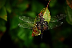 Early Autumn Saddlebags (squatchman) Tags: autumn fall dragonflies d300 saddlebags natureiswonderful squatchman johnvelguth