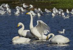 _MG_0493 Whooper Swans (Cygnus cygnus), Brandon Marsh, Warwickshire 27Oct12 (Lathers) Tags: warwickshire brandonmarsh canon7d canonef500f4lisusm 27oct12