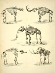 Anglų lietuvių žodynas. Žodis mammut americanum reiškia <li>mammut americanum</li> lietuviškai.